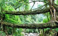 ภูมิปัญญาชาวบ้านอินเดีย 'สะพานรากไม้' รับน้ำหนักได้ 50 คน!!
